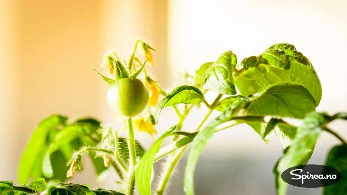 Allerede helt i begynnelsen av april har denne tomatplanten fått to små, grønne tomater.