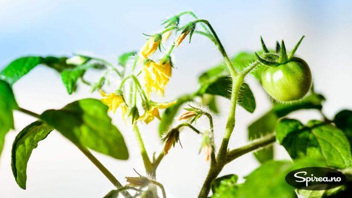 Én blomsterklase har så langt gitt to små tomater.