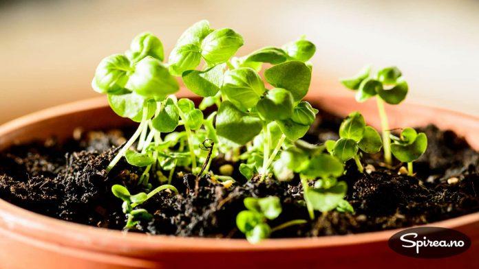 Basilikum dyrket fra frø blir ofte mer robuste planter enn å kjøpe ferdig i hagesenteret, er vår erfaring. Disse ble sådd for 5 uker siden.