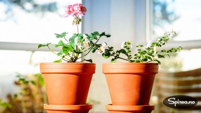 Pelargonia til venstre har allerede begynt å blomstre, det samme gjelder bacopa.