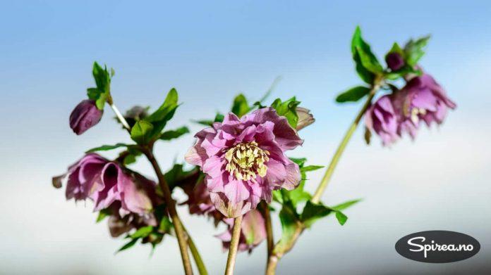 Vi falt for denne doble varianten av Helleborus orientalis.