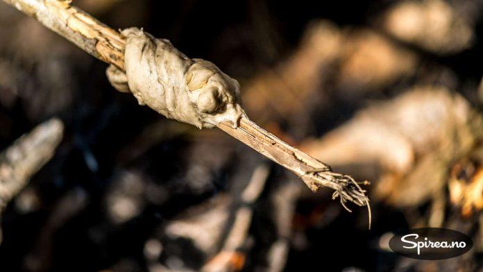 Pinnebrød: Hvetemel, bakepulver, salt og vann er alt som trengs for å lage pinnebrøddeig.