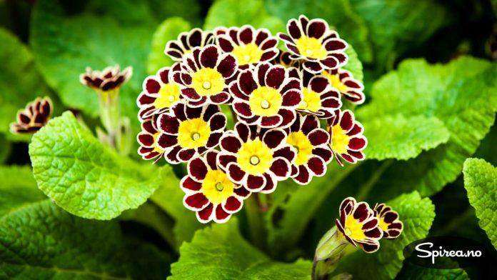 Aurikkel er en variant av primula som er spesielt populær i Nord-Norge.