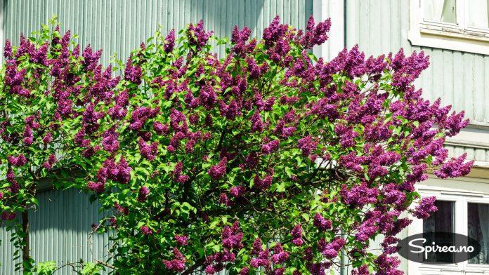 Gedigen mørk lilla edelsyrin blomstrer på Vålerenga.