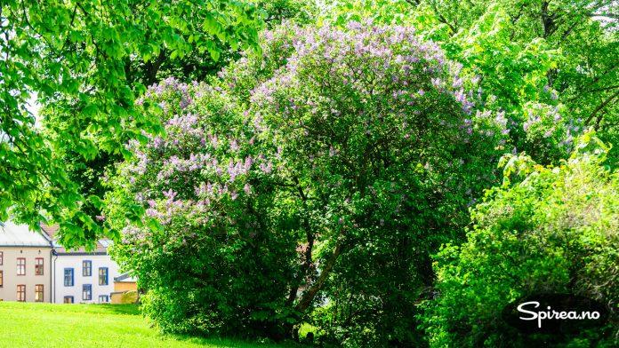 Syriner kan med fordel plantes i parker, som her i Vålerengaparken der den har blitt en velvoksen busk.