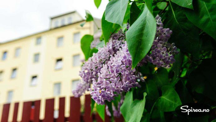 """Syrin er en lettvint plante, og kan gjerne plantes i borettslag og andre steder der det ikke er så mye """"spesialbehandling"""" av plantene,"""