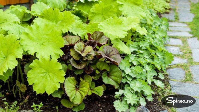 Flere varianter av Rodgersia plantet sammen med marikåpe i et skyggebed.