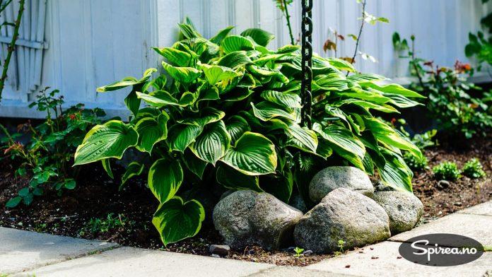 Gulstripete Hosta plantet inntil en husvegg der den har gode vekstvilkår.