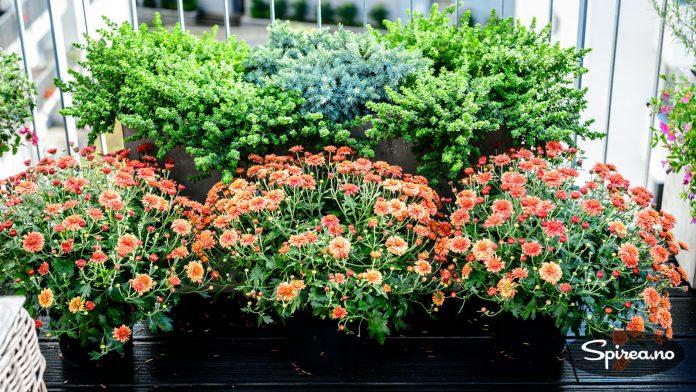 Rustrøde krysantemum formelig bugner foran kassen med peppermyntebusk og blåeiner.