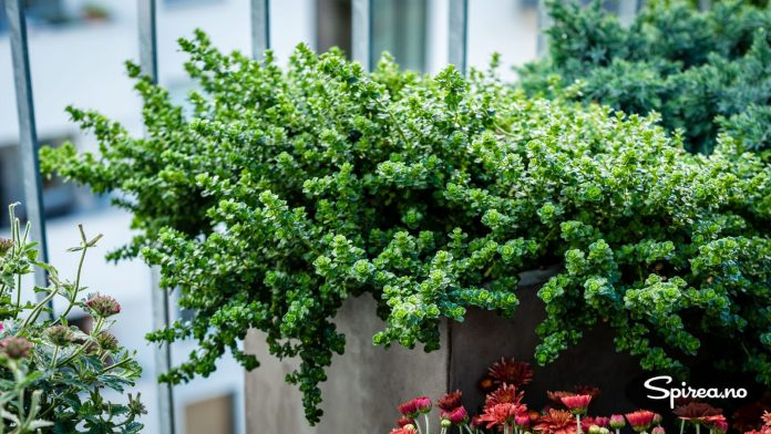 Store krukker og kasser fungerer som bed på takterrassen, peppermyntebusken (Prostanthera cuneata) er en av plantene som trives godt.