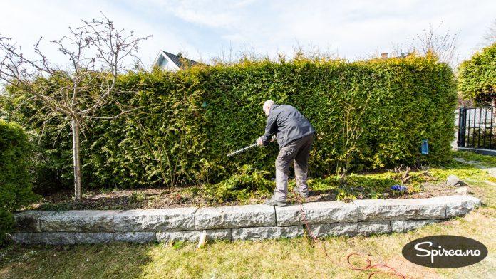 For å få en tett hekk, må du følge anbefalt planteavstand.