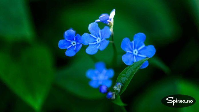 Vårkjæreminne er en av få stauder som blomstrer fint selv om den står i skyggen.