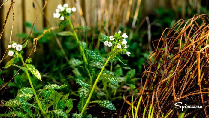 Etter at blomstringen er over kan du glede deg over bladverket. Klipper du det ned, kommer det igjen med nye, friske blader.