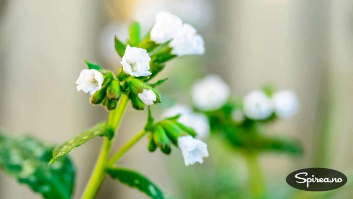 Hvit lungeurt har yndige, små blomster som kommer tidlig om våren.