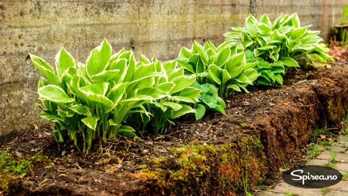 Hosta (bladliljer) er supre stauder i skyggebedet, men dessverre også blant livrettene til brunsneglene.