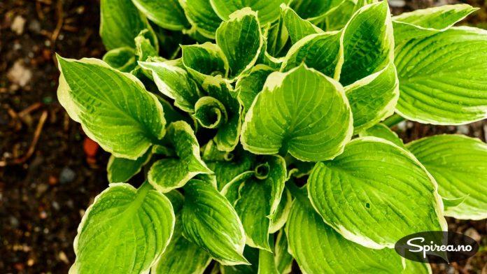 Du kan se at Hosta har fått sneglebesøk når det er hull i bladene.
