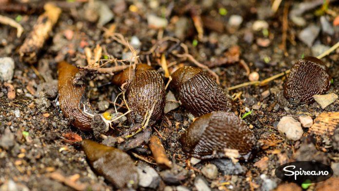 Veldig mange hageeiere sliter med at hagen blir invadert av brunsnegler. Heldigvis finnes det noen triks for å redusere bestanden.