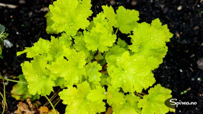 Denne limegrønne alunroten frisker opp i bedet.