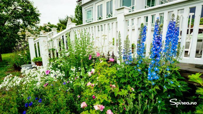 Utenfor huset fra 1916 har Trine dekorert bedene med høye stauder som ridderspore, nyseryllik, valmuer og vendelrot, sammen med historiske roser.