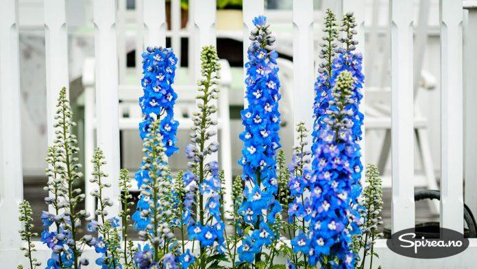 Riddersporer er en av favorittstaudene, disse blå finner du i flere av bedene på Godager.