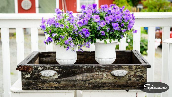 Den gamle skuffen duger som blomsterkasse for stemor.