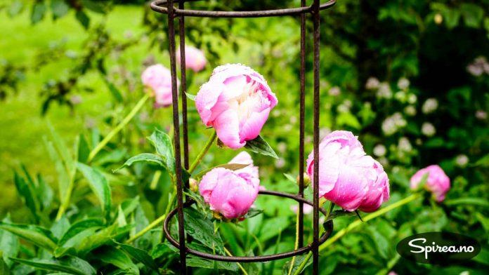 Når pionene blomstrer kjenner Trine lykkefølelsen komme. For finnes det noe vakrere?