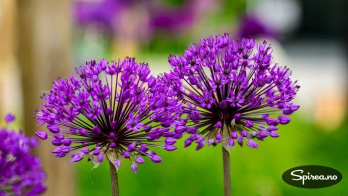 Prydløk – Allium – er en av de aller flotteste løkblomstene som passer meget godt inn i en moderne hage.