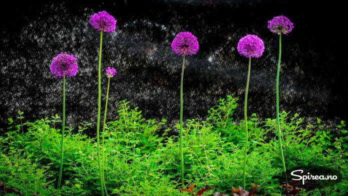 En lettstelt type snøbær samplantet med Allium.