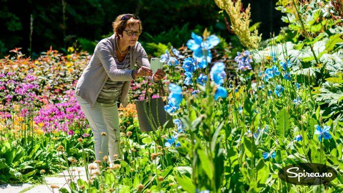 En av de aller vakreste staudene, blå valmuesøster, blomstret da vi var på besøk på Sofiero. Den ble hyppig fotografert.