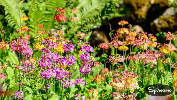 Et eget område er satt av til ulike sorter primula, i kombinasjon med andre stauder og sommerblomster.