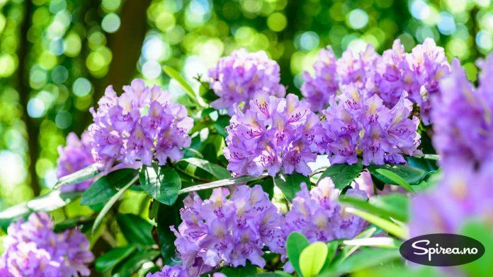 Rhododendron er en plante som liker jevn tilgang til vann - som helst skal renne videre. Den trives også best i skyggen.
