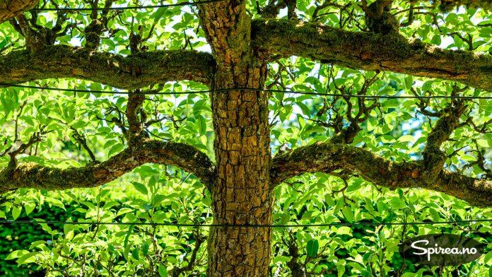 Espalierte epletrær er brukt til å lage en allé gjennom parken.