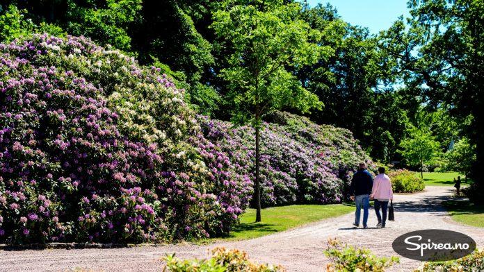 I området rundt Bergen kan du se så store rhododendron. I resten av Norge er det sjelden. I Skåne er det et vanlig syn.
