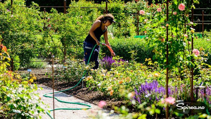 Det har vært tørt i Skåne i år, og de ansatte må derfor vanne litt ekstra for at plantene skal trives.