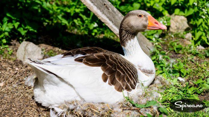 Smålandsgås er en av de historiske fuglene på Fredriksdal.