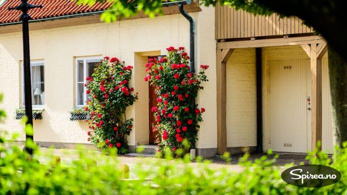 Røde klatreroser pryder inngangspartiet på mange Ystad-hus.