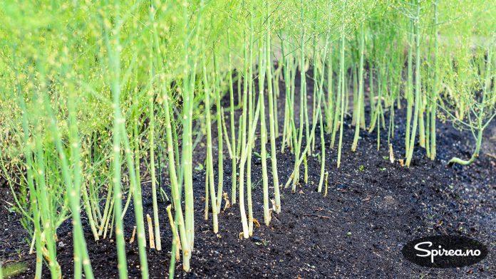 Asparges er et langtidsprosjekt å dyrke, men verdt ventetiden!