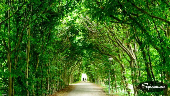Det er deilig å vandre under det grønne taket i alleene.