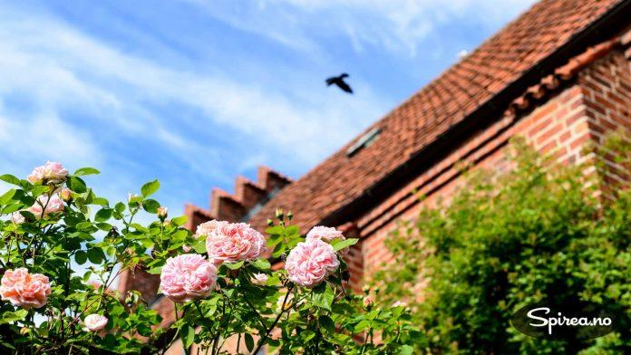 Rosene trives godt ved siden av St. Petri-kirken.