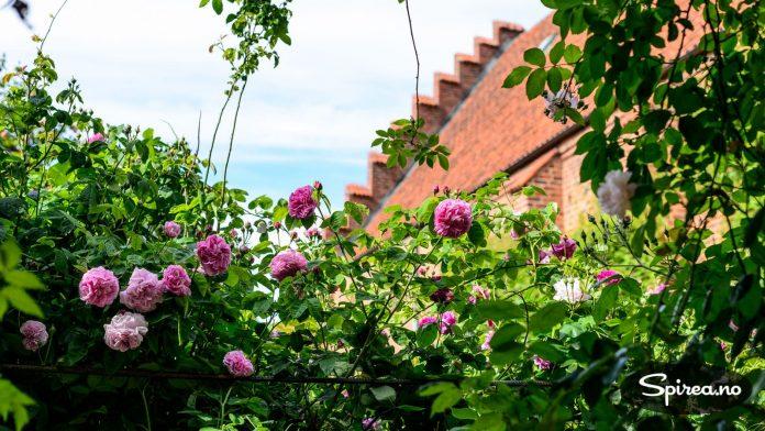Det flotte rosariet inneholder både moderne og historiske roser, de fleste med duft.