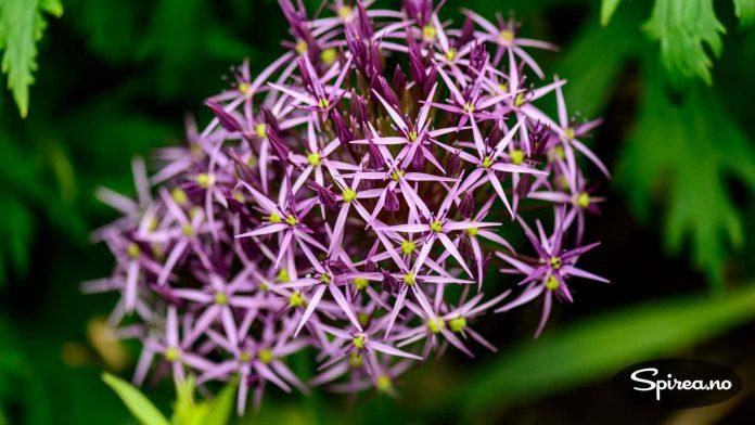 Allium (Prydløk) i en litt spesiell variant.