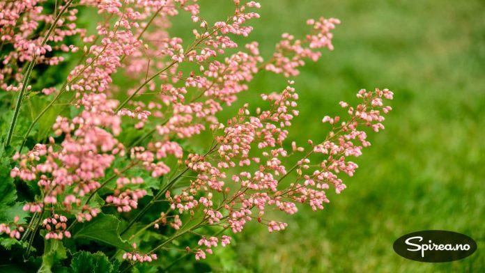 Alunrot blomstrer på høye spir. Dette er en av de få sortene der blomstene er mer iøynefallende enn bladene.