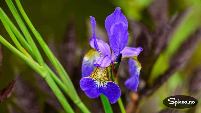 Irisen blomstret flott da vi besøkte Skåne.