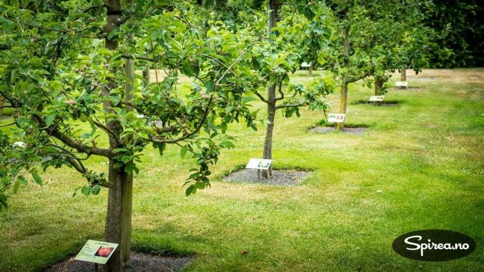 Frittstående epletrær, beskjært for å gi best mulig fruktavling.
