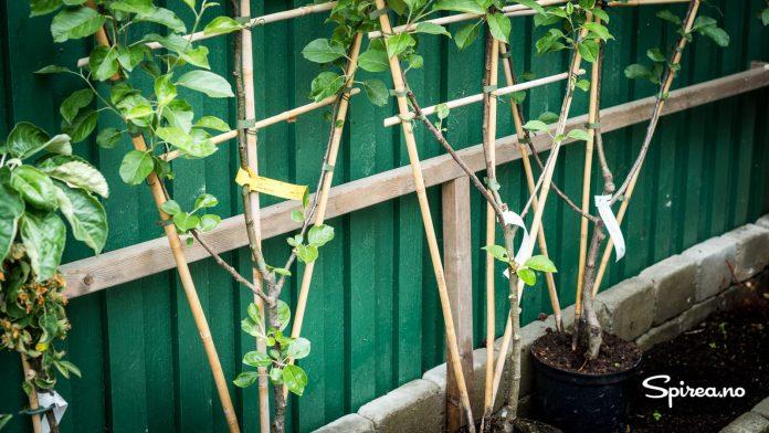 Epletrær espaliert inn til en vegg.