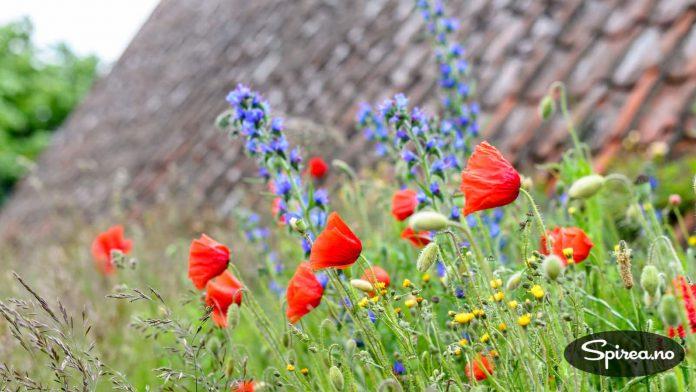 Blomstereng med blant annet valmuer. Nydelig!