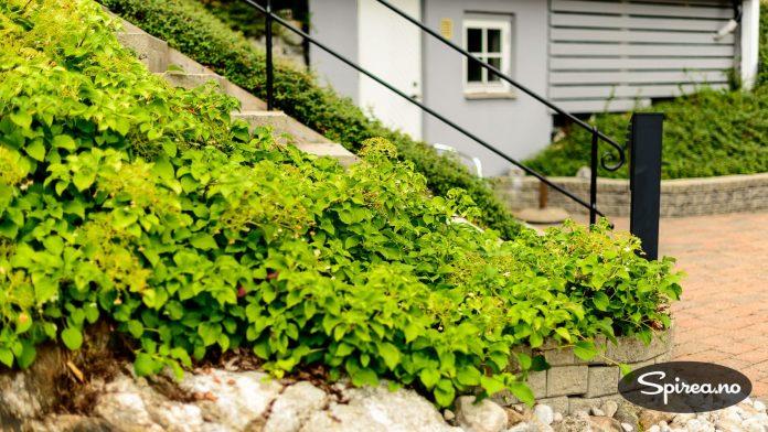Klatrehortensia plantet i skråningen.