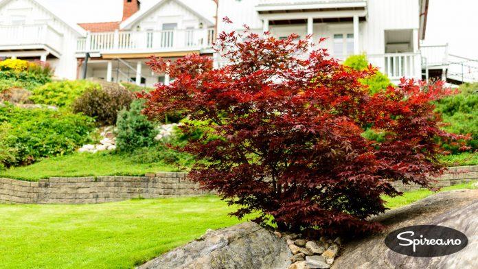 En japansk blodlønn vokser og trives her i Risør, og er et blikkfang i hagen.