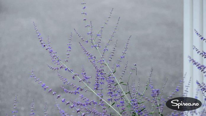 Blåbusken var på sitt peneste i slutten av juli, noe både vi og biene satte pris på.