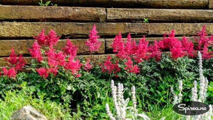 """Vi har plantet en rad med knall røde astilbe foran en """"mur"""" av jernbanesviller."""